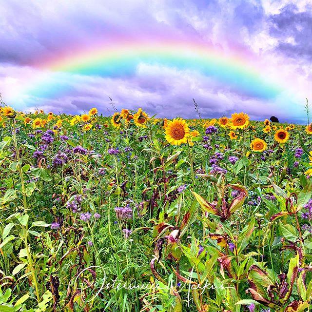 Neulich auf dem Sonnenblumen-Feld
